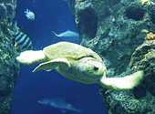 The turtle rules the ocean tank at the South Carolina Aquarium.