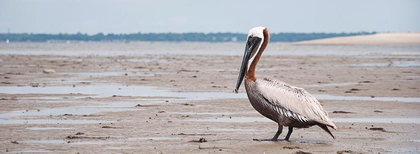 A pelican rests on Crab Bank Island just off Shem Creek. © 2013 Audra L. Gibson. All Rights Reserved.