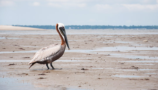 Crab Bank island is home to many varieties of birds including this Pelican, seen out on tour with Coastal Expeditions kayak tours.