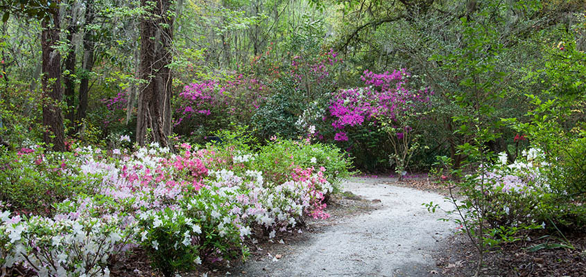 Magnolia Plantation and Gardens Path at Springtime. © Audra L. Gibson. All Rights Reserved.