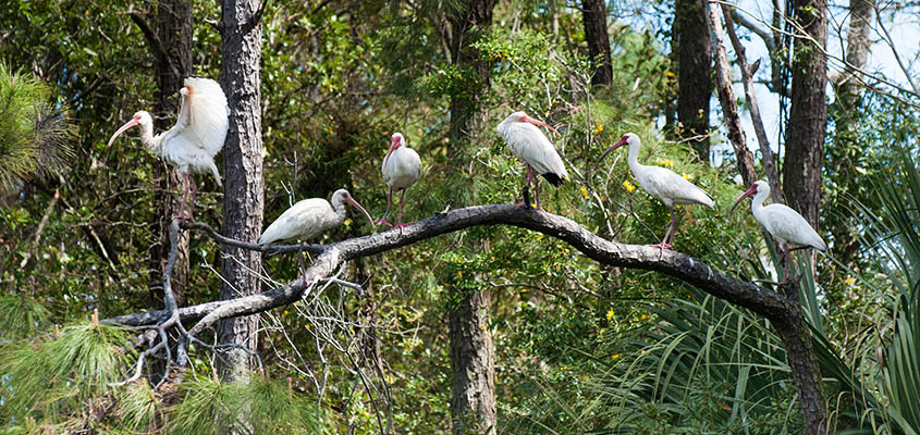 Group of Ibis Bald Head Island © Audra Gibson