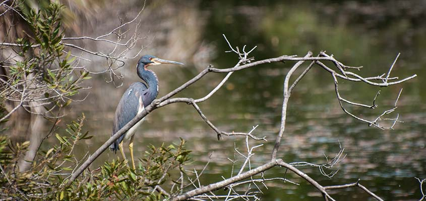 Tri Colored Heron Bald Head Island © Audra Gibson