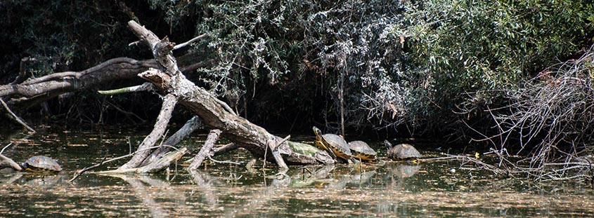 Yellow Bellied Slider Turtles Bald Head Island © 2014 Audra L. Gibson. All Rights reserved.