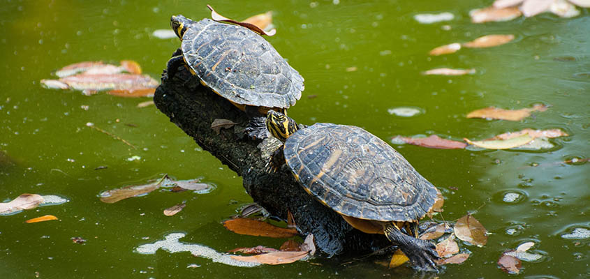 Yellow Bellied Slider Turtles Bald Head Island © Audra Gibson