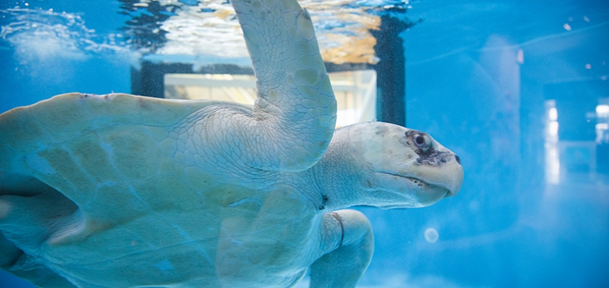 A Kemp's Ridley named Peach is a patient recovering from a monofilament entanglement at the Sea Turtle Recovery.